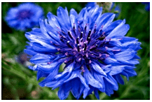 Different Shades of Blue in Cornflower